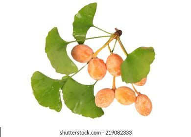 Ginkgo Biloba fruits cross section isolated on white, macro