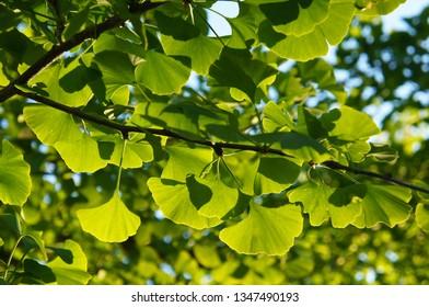 Ginkgo biloba or ginkgo or gingko or maidenhair green foliage in sunlight