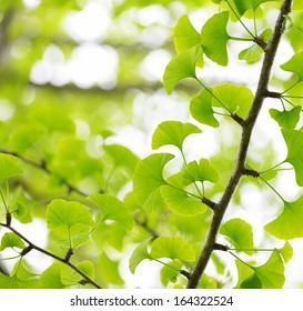 Ginkgo Biloba, green leaf background