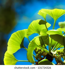 Ginkgo biloba green leaves on a tree. Ginko leafs is the symbol of Japanese tea ceremony. Ginkgo is used to improve memory in alternative medicine.