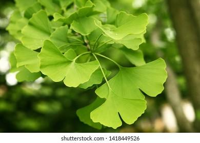 Ginkgo biloba green leaves on a tree. Ginkgo Biloba Tree Leaves with Water Drops