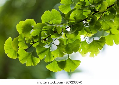 Ginkgo biloba green leaves on a tree in Yonghe Lamasery, Beijing, China.