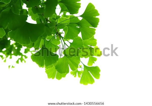 ginkgo-biloba-green-leaves-on-600w-14305