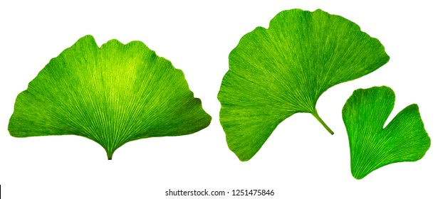 Ginkgo biloba islated leaf macro, green eco design elements, textured natural veins and stomata leaves on white background