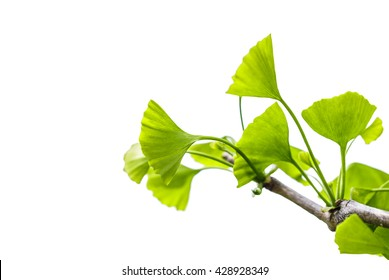 Ginkgo biloba isolated on white background