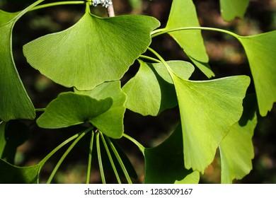 Ginkgo biloba - Leaf of gingko tree