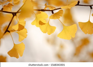 Ginkgo biloba leaves bright yellow on a tree branch on an autumn day close-up