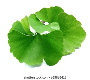 Ginkgo biloba leaves isolated on white background.