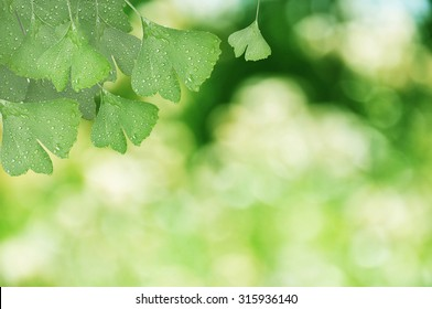 Ginkgo Biloba leaves with natural blurred background