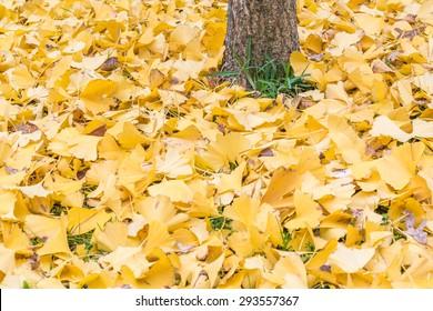 Ginkgo biloba leaves near tree trunk