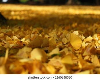 Ginkgo biloba or Maidenhair Tree fallen leaves called Ichou in Japanese