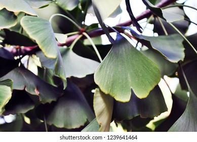 Ginkgo (Ginkgo biloba or maidenhair tree) leaves close up detail organic texture background