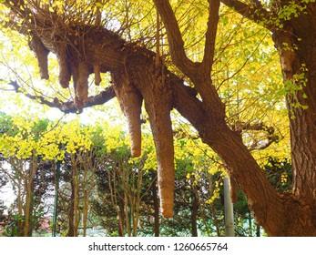 Ginkgo biloba or Maidenhair Tree trunk  called Ichou in Japanese
