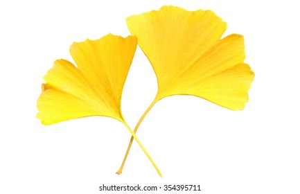 Ginkgo; biloba; needle; autumn leaves