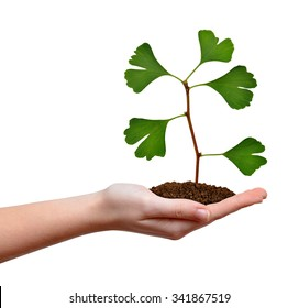 Ginkgo biloba plant growing in hand isolated on white background.