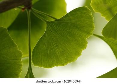Ginkgo biloba, tree