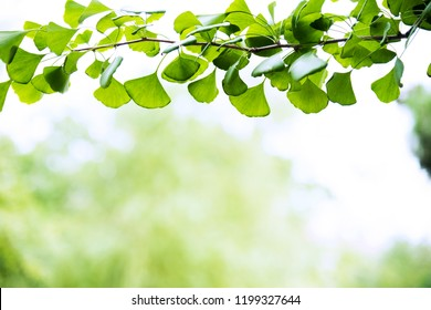 Ginkgo biloba tree branch against lush green background.