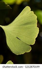 Ginkgo biloba tree leaf on dark background.