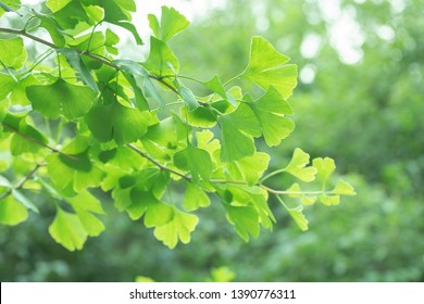 Ginkgo biloba tree with leaves, plant used in Chinese medicine. Ginkgo tree green leaves, medicinal plant decorative
