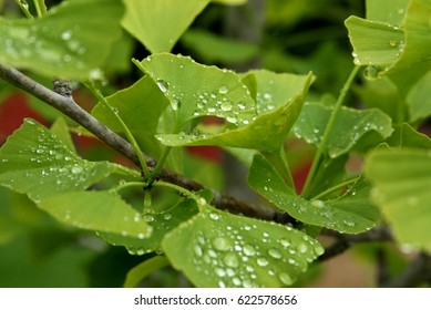 Ginkgo Biloba Tree Leaves with Water Drops