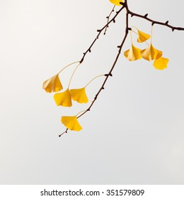 Ginkgo biloba tree leaves in yellow fall color
