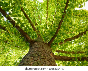 Ginkgo biloba tree in summer with bright green leaves & strong branches. herbal medicine concept. natural medicine and homeopata theme. popular in China and Asia. alternative medicine.