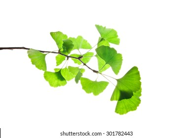 Ginkgo biloba twig with green leaves isolated on white