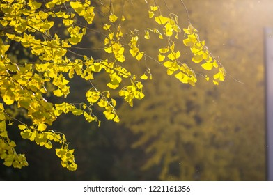 Ginkgo biloba under the autumn sun light, commonly known as ginkgo, also known as the ginkgo tree or the maidenhair tree, the only living species in the division Ginkgophyta, in autumn