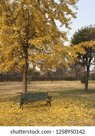 Ginkgo Biloba yellow leaf (ginkgo, gingko, maidenhair tree) in Autumn season at Kashmir, India.