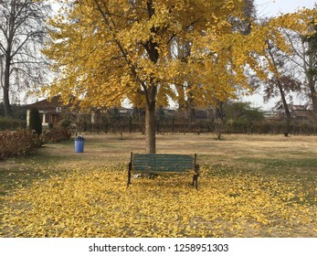Ginkgo Biloba yellow leaf (ginkgo, gingko, maidenhair tree) in Autumn season at Kashmir, India