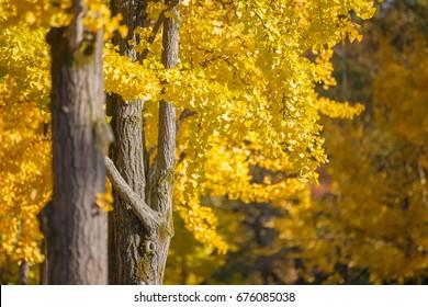 Ginkgo Biloba yellow leaf (ginkgo, gingko, maidenhair tree) in Autumn season at Osaka Castle, a major tourist attraction in Osaka, Japan