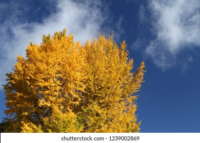 Ginkgo and blue sky