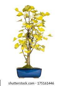 Ginkgo bonsai tree, isolated on white