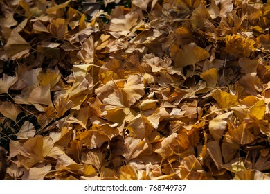 ginkgo dried leaves background.Ground of ginkgo biloba covering the ground, against another neat leaves in the sun.