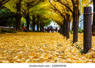 Ginkgo golden leaves falling around the ground ,Autumn season at Tokyo