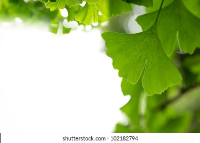 ginkgo leaf background with copy space
