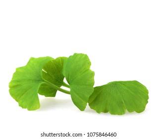 Ginkgo leaf on white background