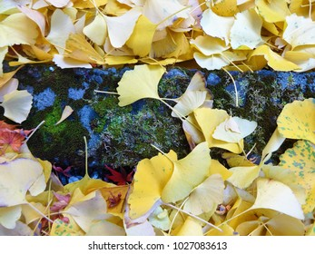 Ginkgo leaves covered the ground