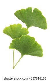 Ginkgo leaves isolated on white background with clipping path
