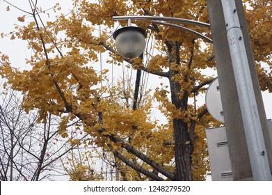 Ginkgo leaves in rain