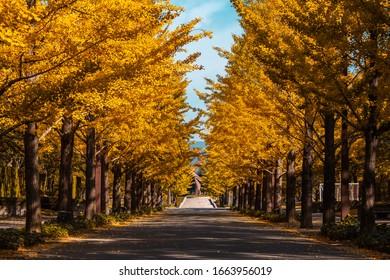 Ginkgo Road at Fukushima Japan