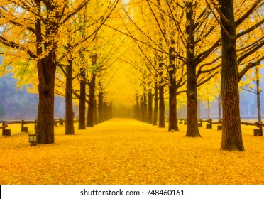 Ginkgo Tree at Autumn in Namiseom island in South Korea.