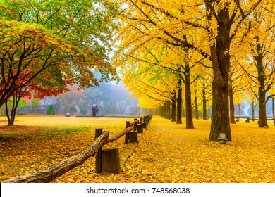 Ginkgo tree at Autumn in Namiseom island, South Korea.