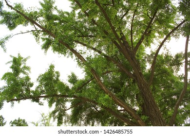 Ginkgo tree from below. Maidenhair tree and green leaves.