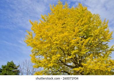 Ginkgo tree with blue sky.