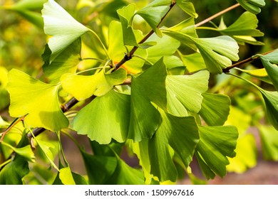 Ginkgo tree branches and green leaves closeup
