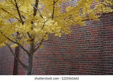 Ginkgo tree in fall