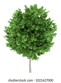 ginkgo tree isolated on white background. 3d illustration