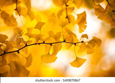 Ginkgo Tree and leaves in the autumn forest