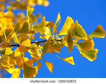 Ginkgo tree leaves in autumn time